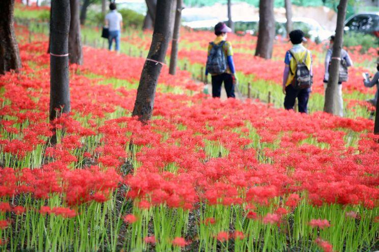 9월15일 대구 서구 중리체육공원에 9~10월에 개화하는 붉은 '꽃무릇'이 가득 피어있다. [이미지출처=연합뉴스]