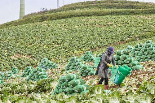 가을배추 재배면적, 가격상승 영향으로 전년比 26% 증가