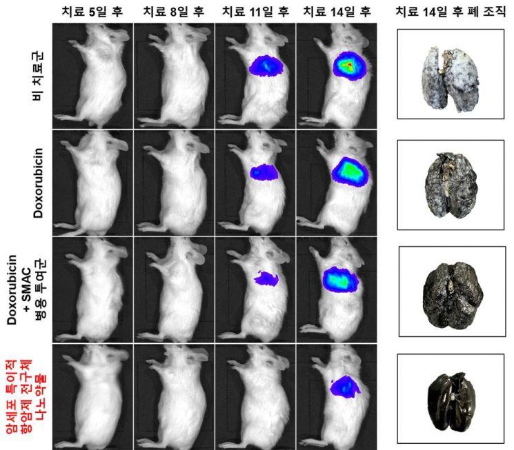 생체발광 영상을 이용한 폐 전이암 동물 모델 내 치료 효능평가 결과다. 연구팀은 생체발광이 가능한 유방암 세포를 이용해 폐 전이암 동물 모델을 확보해 독소루비신 투여군/독소루비신과 스맥 병용 투여군/암세포 특이적 항암제 전구체 나노약물 투여군으로 나눠 폐 전이암 성장 속도를 추적했는데,  암세포 특이적 항암제 전구체를 이용한 폐 전이암 동물 모델이 암의 성장을 매우 효과적으로 억제하는 것을 확인했다.
