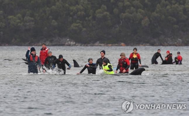 21일(현지시간) 호주 한 해안가에서 고래 270여마리가 모래톱에 갇히는 일이 발생했다. 호주 환경 당국 및 경찰, 환경보호단체는 구조에 나섰다. / 사진=연합뉴스