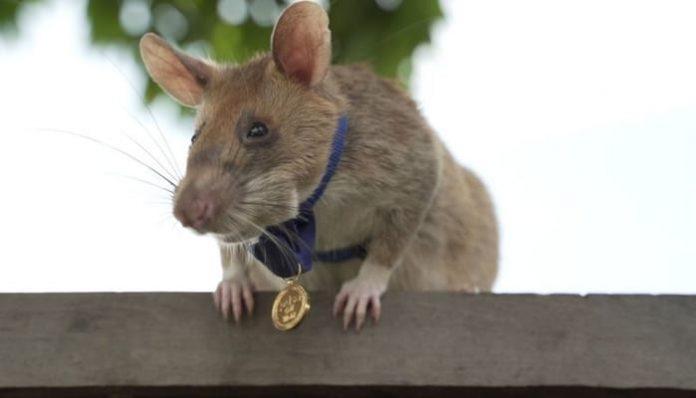 금메달 받은 지뢰탐지 쥐. 사진=PDSA 홈페이지.