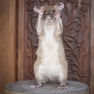 25일(현지시간) 금메달 받는 쥐 '마가와' [이미지출처=연합뉴스]