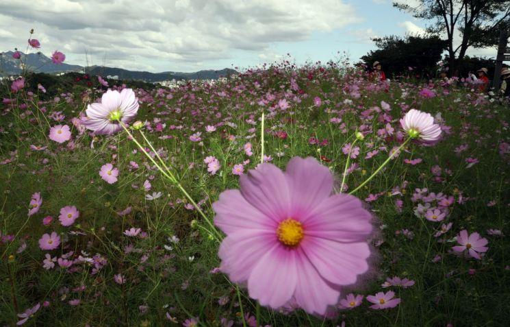 가을 날씨를 보인 지난 9월 24일 상암동 하늘공원에 코스모스가 피어 있다. [이미지출처=연합뉴스]