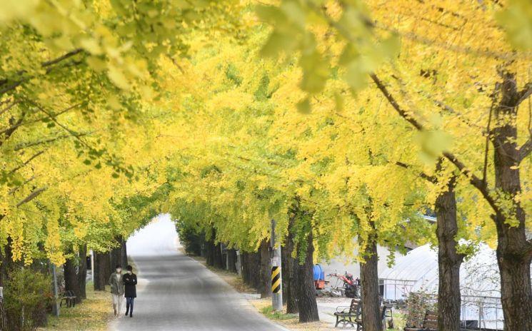 거창 의동마을 은행나무길 (사진=거창군)