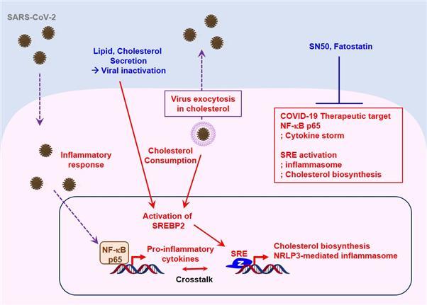 코로나19 환자의 체내 지방 생합성 조절 단백질의 활성(SREBP-2)을 나타낸 흐름도다. 코로나19 바이러스 감염에 의한 세포막의 콜레스테롤 소모는 SREBP-2의  활성을 유도하고, 대량의 염증 사이토카인을 분비한다.