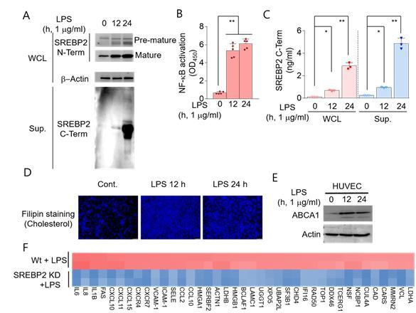 세포 수준에서 체내 지방 생합성 조절 단백질의 활성화와 사이토카인 발현 조절을 검증한 자료.