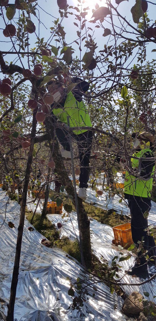 NH농협은행 자금운용부문 김행춘 부행장과 직원들이 29일 경북 예천군 수한리 농가를 찾아 사과수확 작업을 하고 있다.