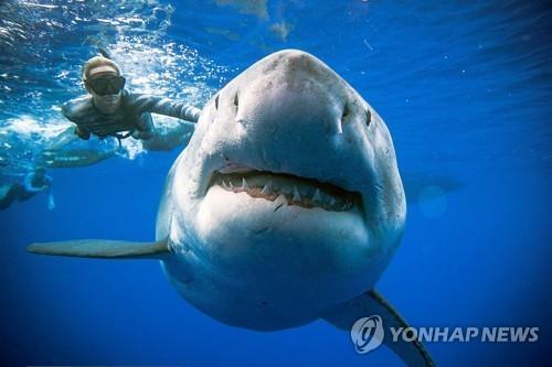 악상어과 상어의 일종인 백상아리. / 사진=연합뉴스