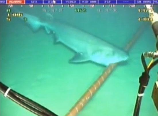 지난 2014년 태평양 해저에 놓인 인터넷 케이블을 상어가 물어뜯는 모습. / 사진=유튜브 캡처