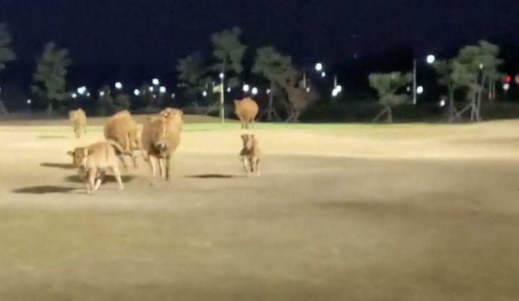 지난 20일 경남 창원시의 한 골프장에서 소들이 몰려와 뛰어놀고 있다. [연합뉴스]