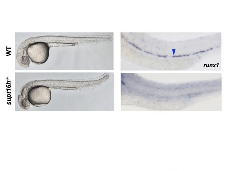 정상 제브라피쉬와 Supt16h(왼쪽 위)가 결여된 돌연변이 제브라피쉬의 모습(왼쪽)과 조혈줄기세포의 발생(오른쪽)을 비교한 그림.