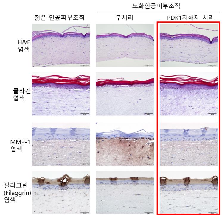 아모레퍼시픽, 카이스트와 피부세포 역노화 원천기술 개발