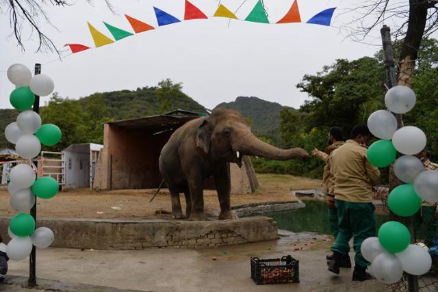 카반이 23일 동물원을 떠나기 전 열린 송별식에서 먹이를 받아 먹고 있다.[이미지출처 = AFP 연합뉴스]