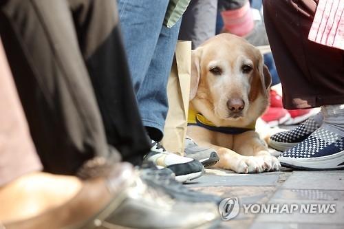 한 안내견이 시민들 사이에서 휴식을 취하고 있다. [이미지출처=연합뉴스]