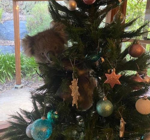 호주에서 한 코알라가 가정집에 들어가 크리스마스 트리에 올라간 장면이 포착됐다. 사진=1300코알라즈 페이스북 캡처.