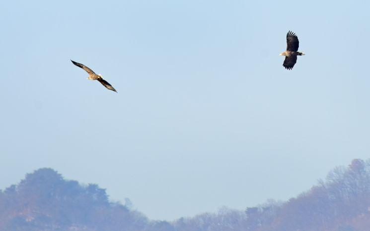 독수리들이 먹잇감을 노리며 비행하고 있다