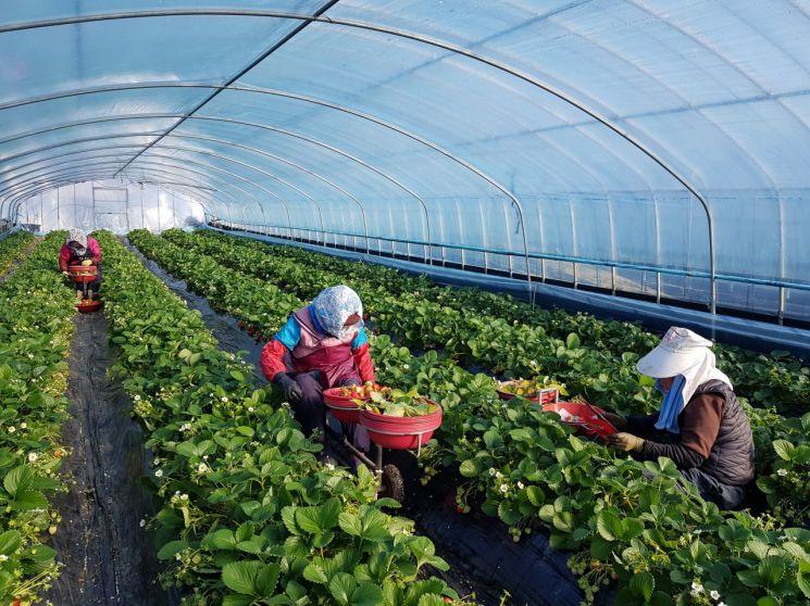 경남 밀양시 농산업인력지원센터를 통해 농번기 일손 지원을 받은 농가.(사진=밀양시)