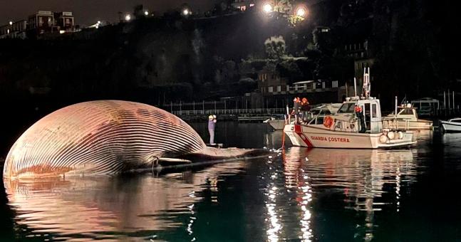 이탈리아 소렌토 연안에서 발견된 큰고래 사체. AP=연합뉴스