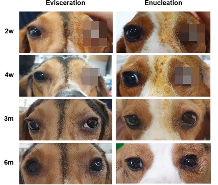 충북대 수의학과 연구팀이 개의 안구를 적출한 뒤 3D 프린팅 기술로 만든 인공 눈을 이식하는 실험을 해 논란이 되고 있다. 사진=국제 학술지 '플로스원(Plos one)'
