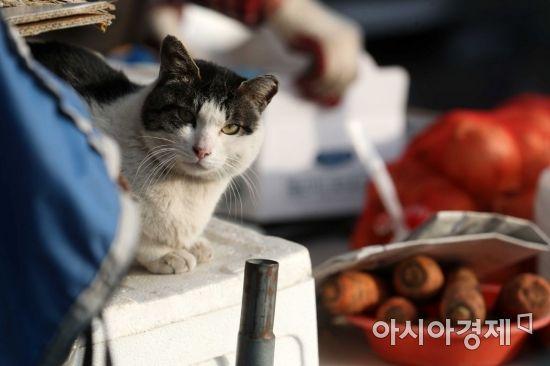 민족 최대 명절 설을 앞둔 5일 서울 송파구 가락동 농수산물도매시장에서 고양이 한 마리가 앉아 있다. /문호남 기자 munonam@
