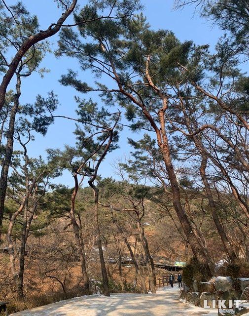 시원하게 뻗은 아차산 소나무