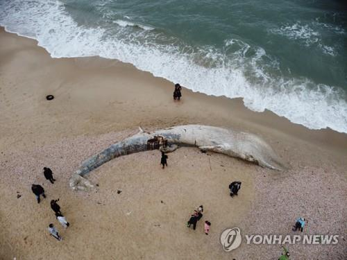 이스라엘 해변에 밀려와 죽은 채 발견된 길이17m의 긴수염고래. [이미지출처=연합뉴스]