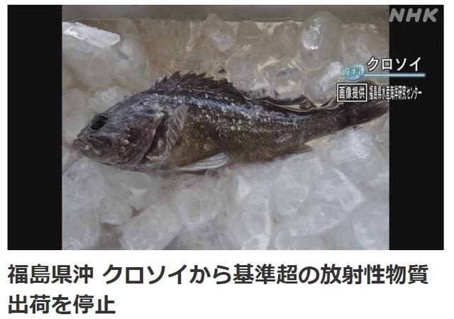 22일 후쿠시마현 앞바다에서 잡힌 우럭에서 기준치의 5배에 달하는 방사성 물질이 검출됐다. 사진=NHK 방송화면 캡처.