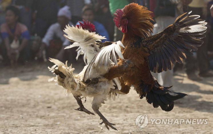 인도 존빌축제에서 열린 닭싸움/사진 = 연합뉴스