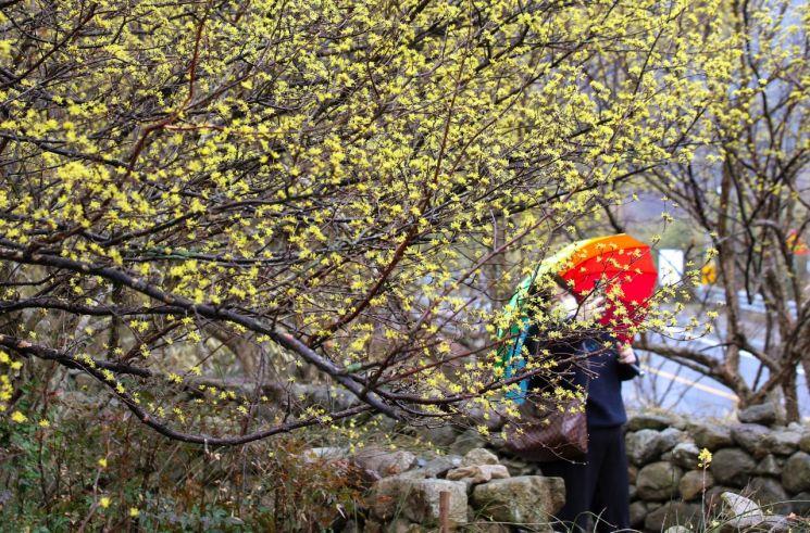 1일 전남 구례군 산동면 반곡마을에서 시민이 산수유꽃을 감상하고 있다. [이미지출처=연합뉴스]