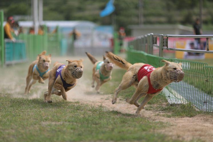 진도군이 공개한 진돗개 경주 공연. 사진=연합뉴스