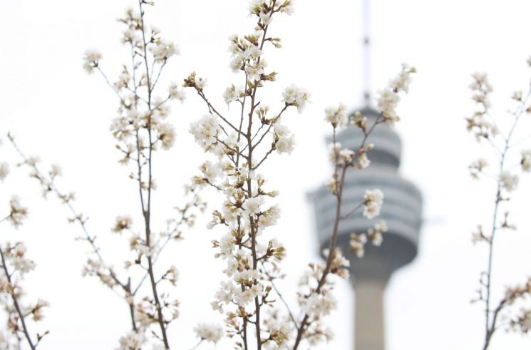벚꽃 시즌을 열흘가량 앞둔 7일 대구 달서구 이월드 내 온실의 벚나무에 꽃이 활짝 피어있다. [이미지출처=연합뉴스]