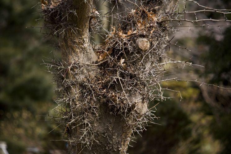 낙타의 주둥아리 높이까지 무성하게 돋워낸 카스피주엽나무의 사나운 가시.