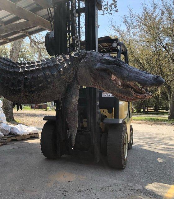 미국 사우스캐롤라이나주에서 잡힌 몸길이 3.65m, 무게 201kg의 거대 악어. 사진=코드레이스 페이스북 캡처