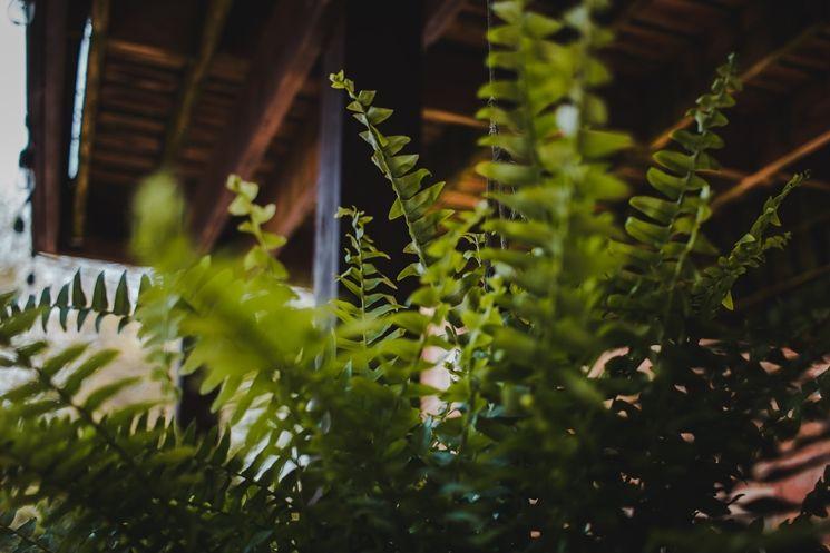 깊은 역사와 풍성한 잎을 자랑하는 보스턴 고사리. ⓒUnsplash