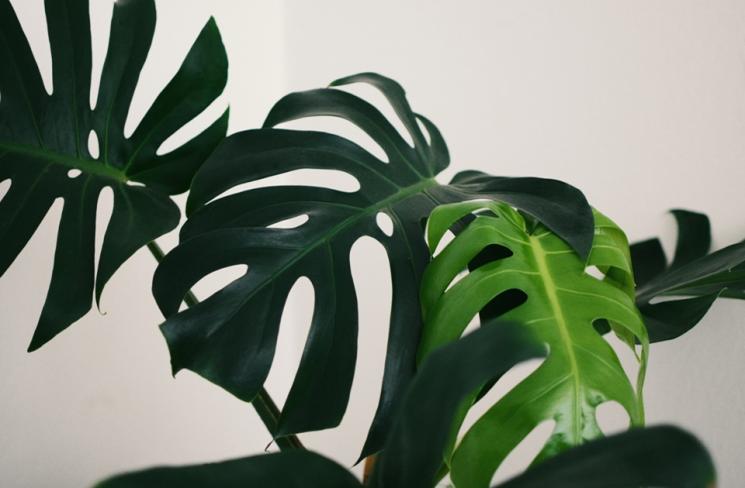 자라면서 갈라지는 잎이 인상적인 몬스테라. ⓒUnsplash
