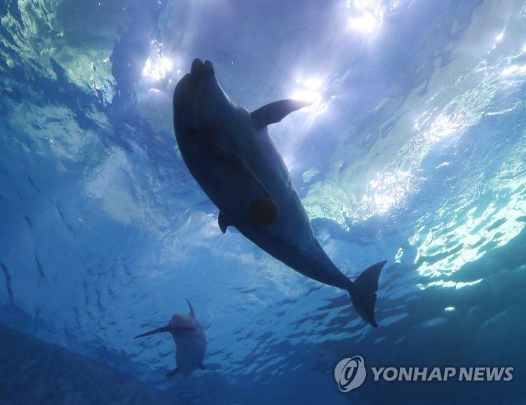 울산 고래생태체험관에서 한 돌고래가 유영하고 있다. 수족관에서 돌고래 폐사가 잇따르며 자연으로 방류해야 한다는 목소리가 커지고 있다. [이미지출처=연합뉴스]