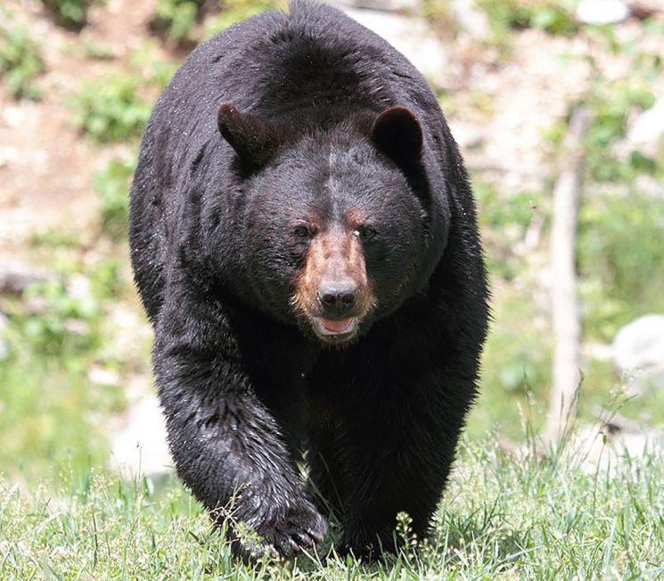 미국 흑곰 [이미지출처=연합뉴스]