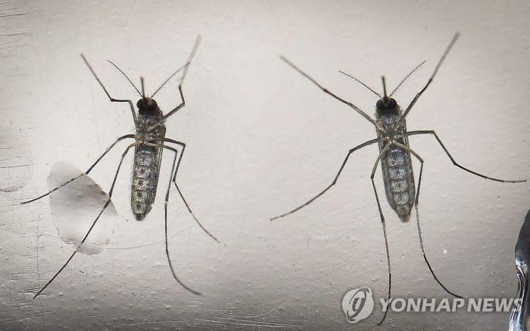지카바이러스의 매개가 되는 이집트숲모기. / 사진=연합뉴스