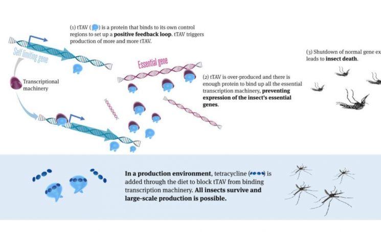 영국 생명공학 기업 '옥시텍'이 개발한 유전자조작 수컷 모기는 암컷 모기만 죽이는 유전자를 보유하고 있다. / 사진=옥시텍 공식 홈페이지 캡처