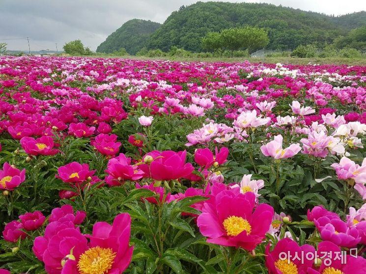 영천시 신녕면 화남리 일원 작약 꽃밭 모습.