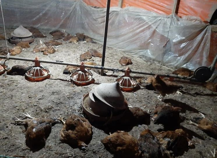 유기견 무리가 양계장을 습격해 닭 수십 마리가 죽거나 날개 주변이 심각하게 훼손된 채 누워있다. 사진=김호대 경남도의원 페이스북 캡처