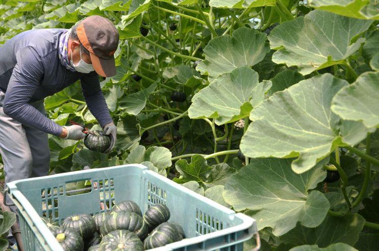 함평 '미니 단호박 조기 출하'로 '시장 선점'…농가 소득 기여