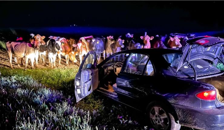 El día 1 (hora local), un vehículo no registrado que huía de las represiones policiales fue bloqueado por una manada de ganado y capturado por la policía. [사진=페이스북 캡처]