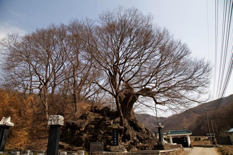 충북 진천 석현리 '지곡마을' 어귀 낮은 동산에 서 있는 느티나무.
