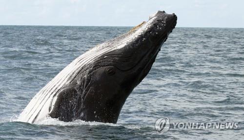 """""""고래의 입 근육 느껴"""" 혹등고래가 삼켰던 美 어부, 멀쩡하게 돌아왔다"""