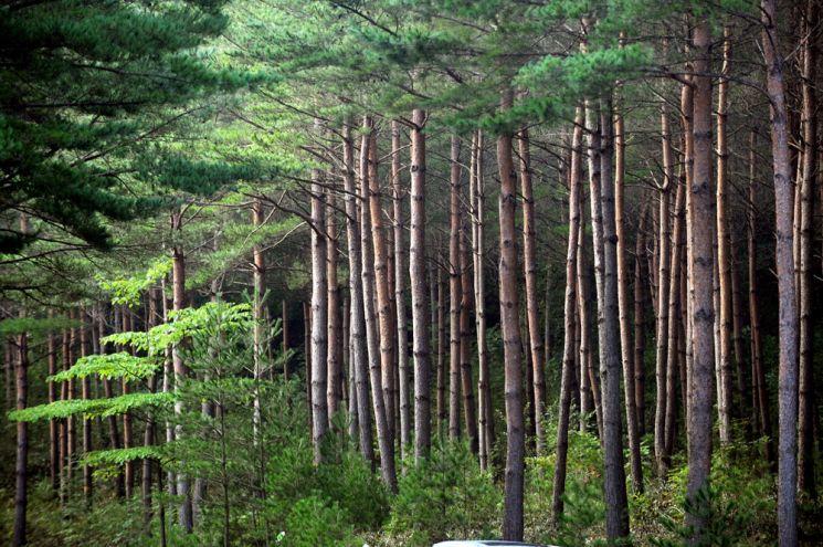 금강소나무 숲길 1구간에 즐비한 금강소나무들