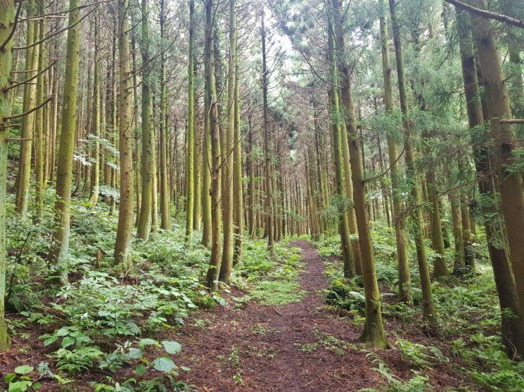제주 거문오름에 형성된 삼나무 숲.