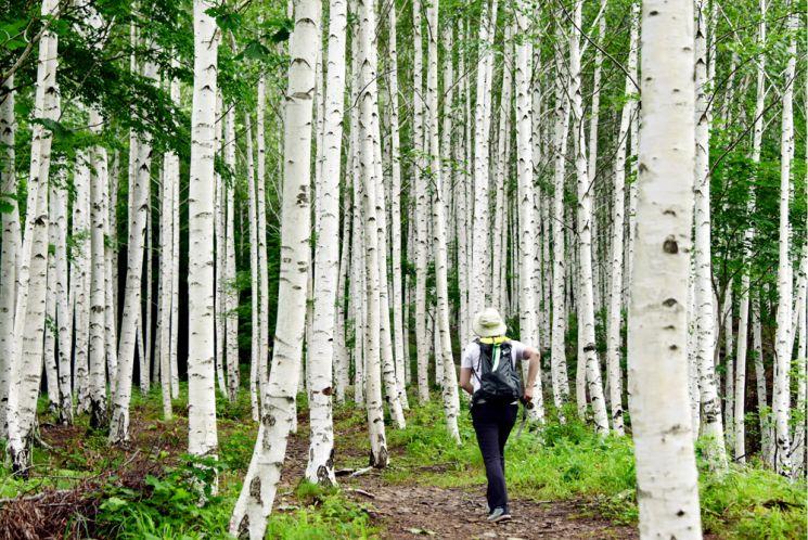 죽파리 자작나무숲 산책길