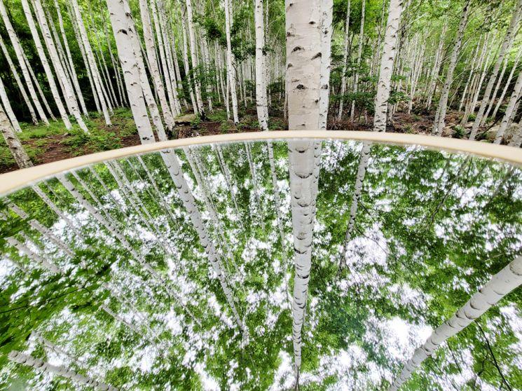 거울에 비친 자작나무숲