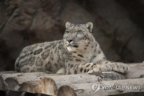 美 동물원서 희귀동물 눈표범 코로나19에 감염